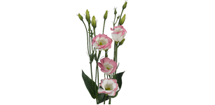 Lisianthus en piccolo hot lips