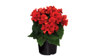 Begonias red