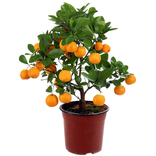 Мандарин  Calamondin stem