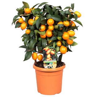 Мандарин  Kumquat Bush