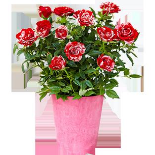 Цветы в горшках ярославль купить цветы для невесты на голову